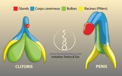 Clitoris et pénis ont la même origine embryologique !